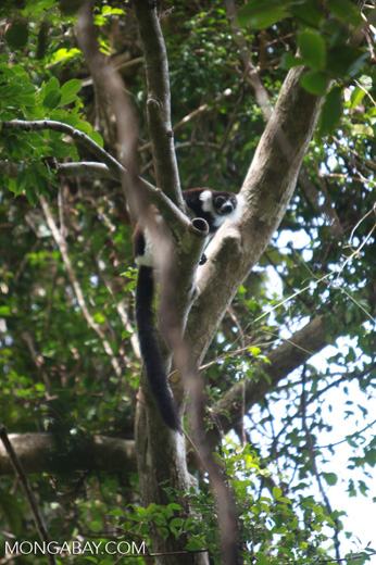 Black-and-white Ruffed Lemur (Varecia variegata) [madagascar_1927]