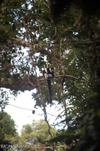 Black-and-white Ruffed Lemur (Varecia variegata) [madagascar_1928]