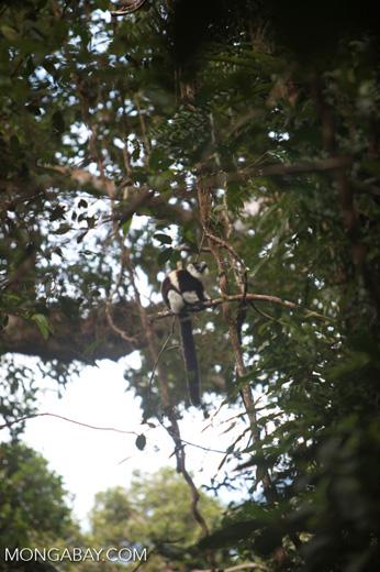 Black-and-white Ruffed Lemur (Varecia variegata) [madagascar_1934]