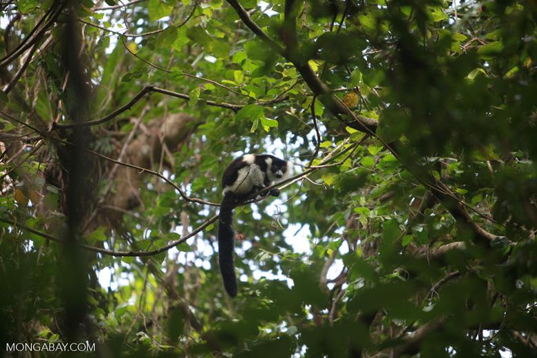 Black-and-white Ruffed Lemur (Varecia variegata) [madagascar_1937]