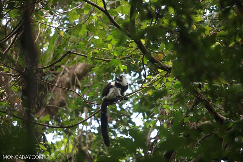 Black-and-white Ruffed Lemur (Varecia variegata) [madagascar_1939]