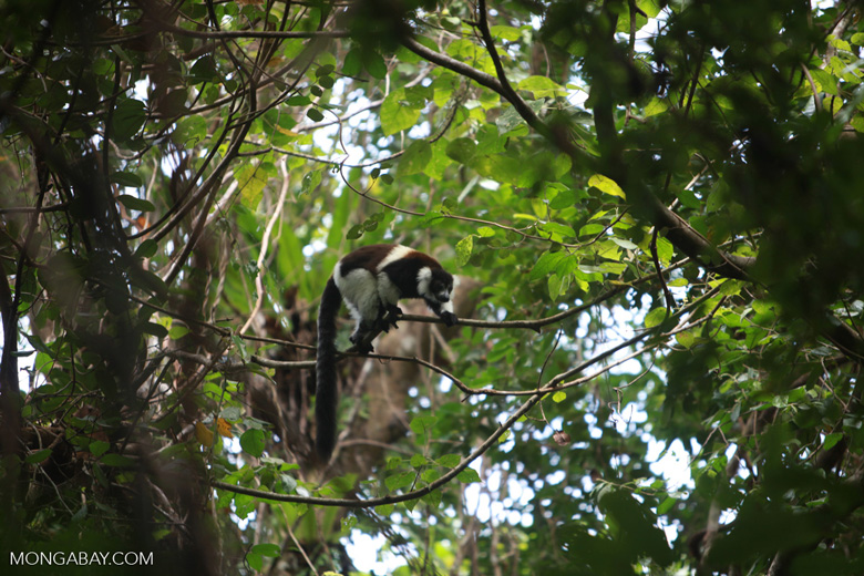 Black-and-white Ruffed Lemur (Varecia variegata) [madagascar_1940]