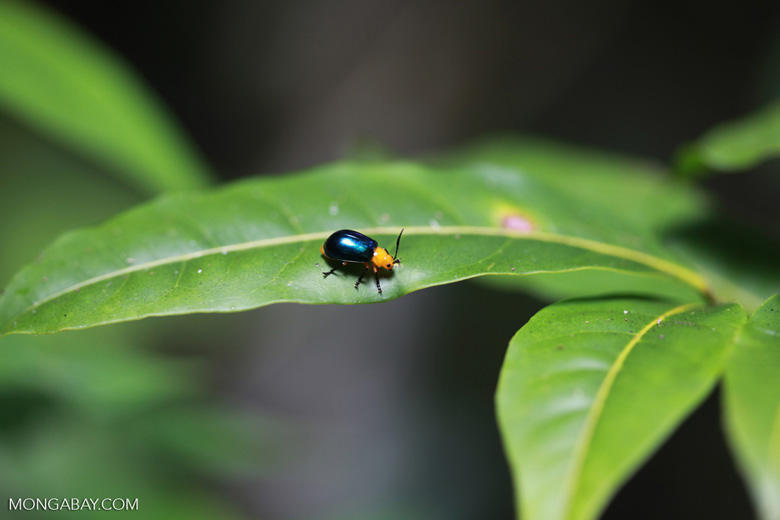 Orange and blue beetle [madagascar_1947]