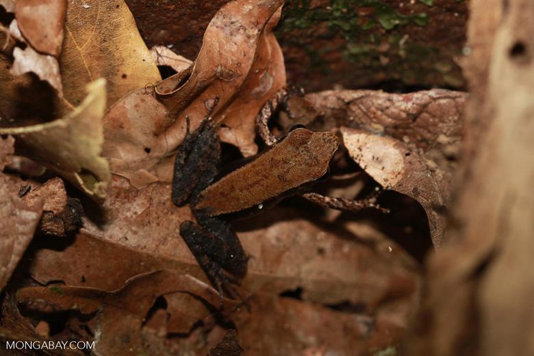 Mantidactylus melanopleura [madagascar_1952]
