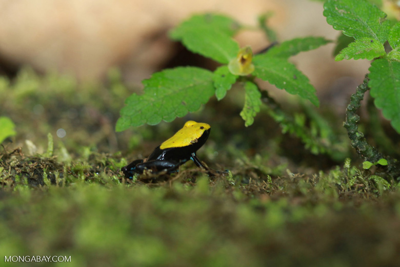 Green-backed mantella frog (Mantella laevigata) [madagascar_1967]
