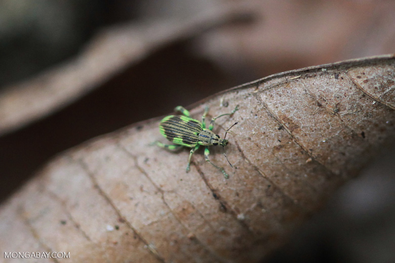 Green and brown Lycidae weevil ( Coleoptera)