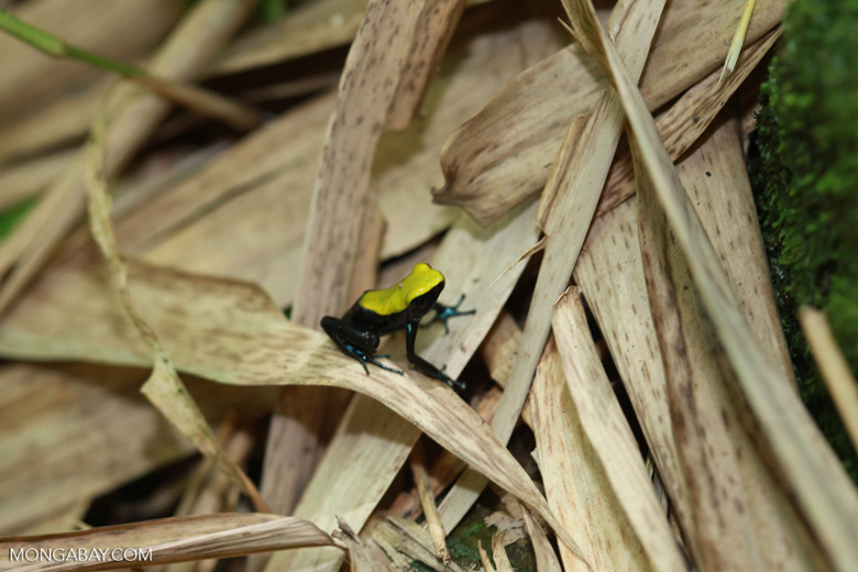 Green-backed mantella frog (Mantella laevigata) [madagascar_2032]