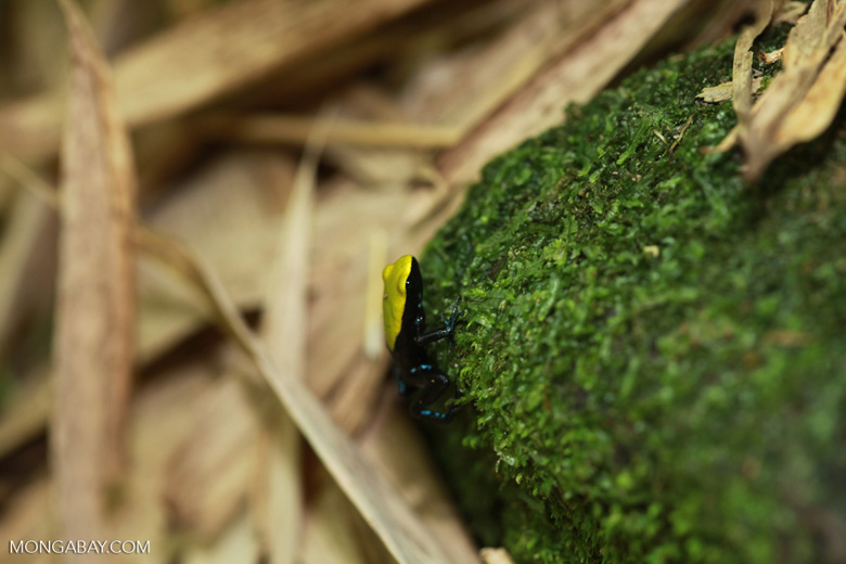 Green-backed mantella frog (Mantella laevigata) [madagascar_2034]