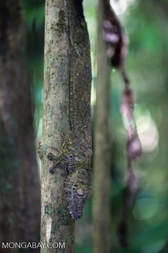 Giant Leaf-tail Gecko (Uroplatus fimbriatus) [madagascar_2041]
