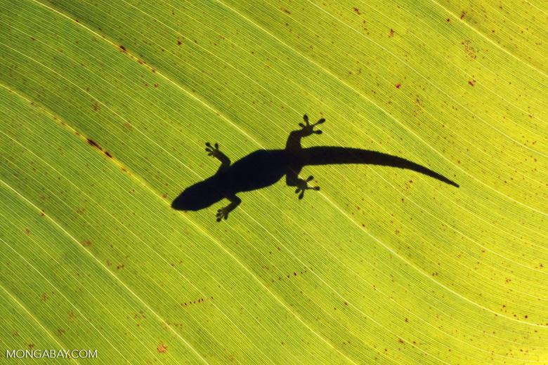 Shadow of a gecko on a sunlit leaf [madagascar_2070]