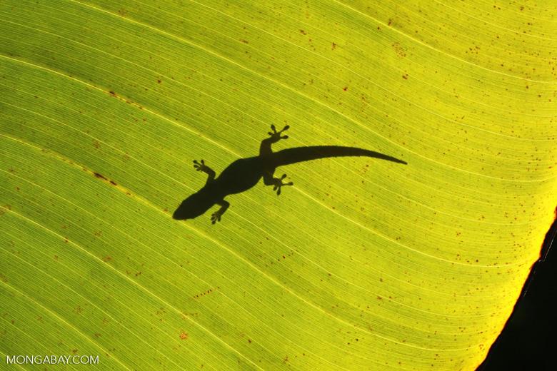 Shadow of a lizard on a sunlit leaf [madagascar_2075]
