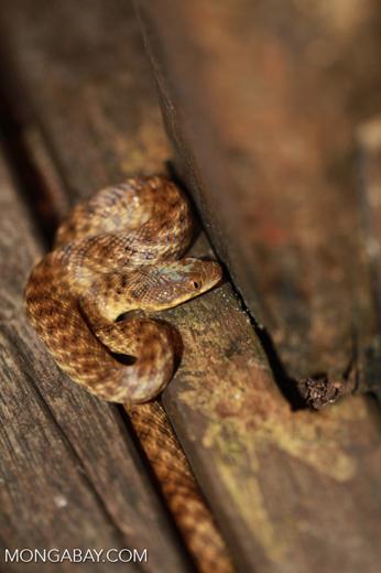 Madagascarophis colubrinus [madagascar_2089]