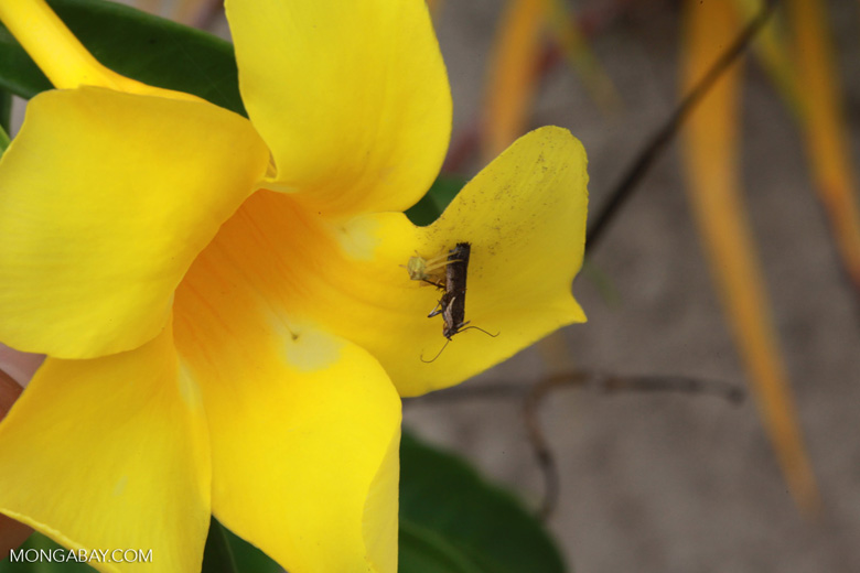 Yellow spider eating a moth [madagascar_2095]