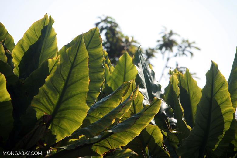 Elephant Ear Plants [madagascar_2172]