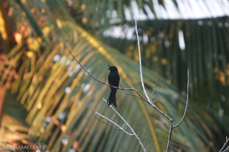 Black crested drongo