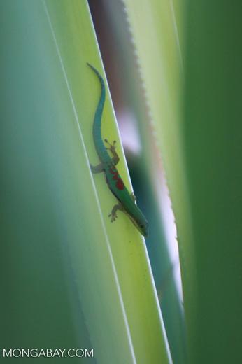 Lined Day Gecko (Phelsuma lineata) [madagascar_2202]