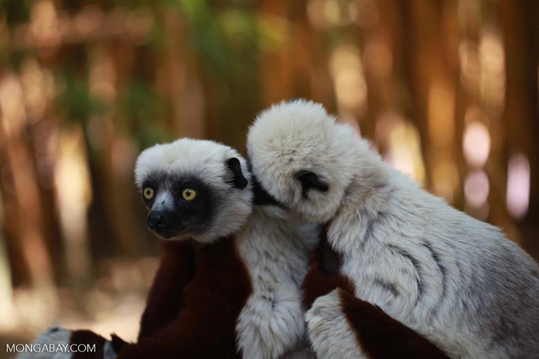 Coquerel's sifakas grooming [madagascar_2319]