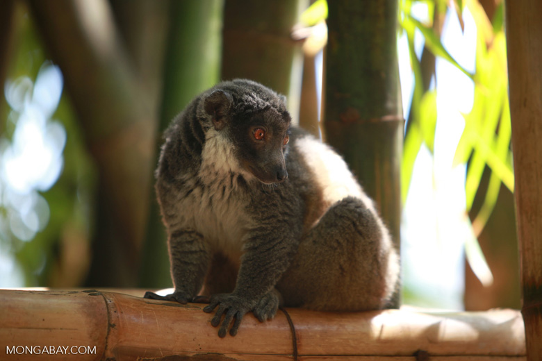 Mongoose Lemur (Eulemur mongoz) [madagascar_2348]