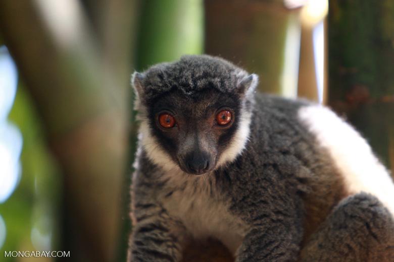 Mongoose Lemur (Eulemur mongoz) [madagascar_2353]