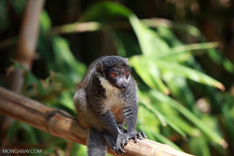 Mongoose Lemur (Eulemur mongoz) [madagascar_2362]