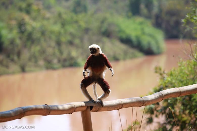 Coquerel's Sifaka balancing on a bamboo rail