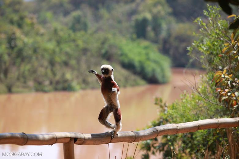 Coquerel's Sifaka 'dancing' [madagascar_2376]