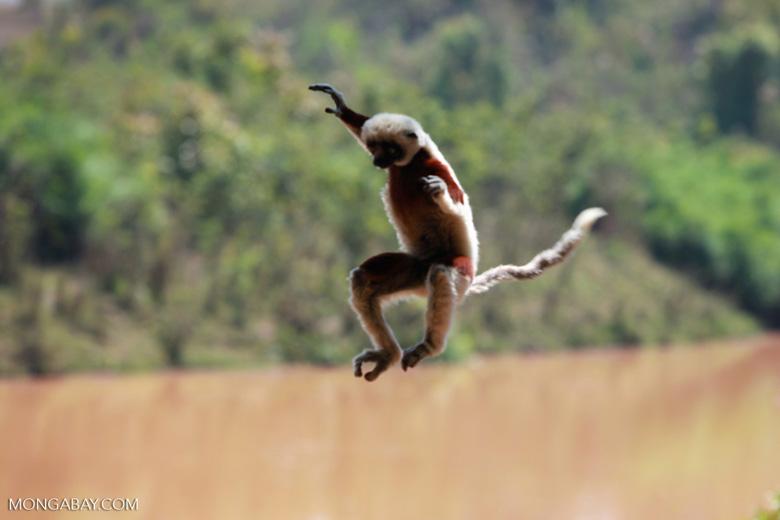Coquerel's Sifaka taking flight