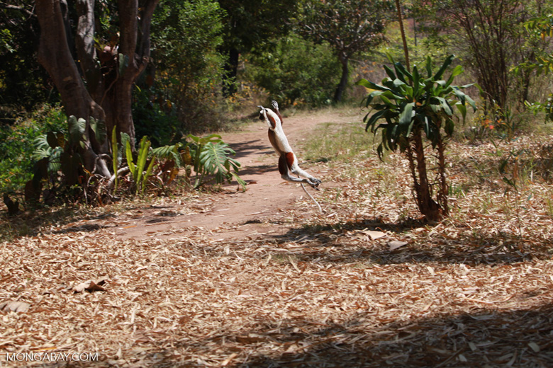 Coquerel's Sifaka dancing across a clearing [madagascar_2398]