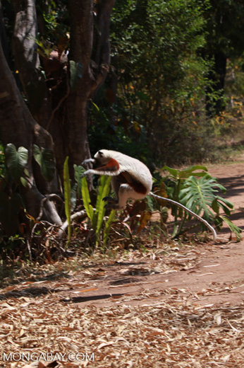 Coquerel's Sifaka dancing across a clearing [madagascar_2401]
