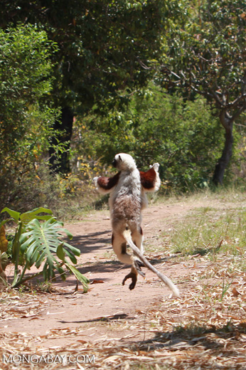 Coquerel's Sifaka getting air