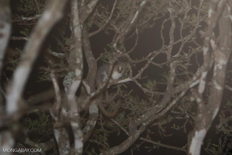 Gray Mouse Lemur winking