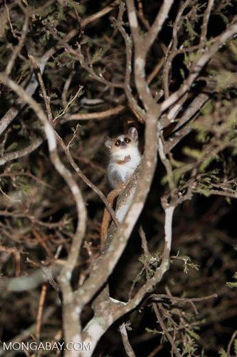 Gray Mouse Lemur (Microcebus murinus) [madagascar_2457]