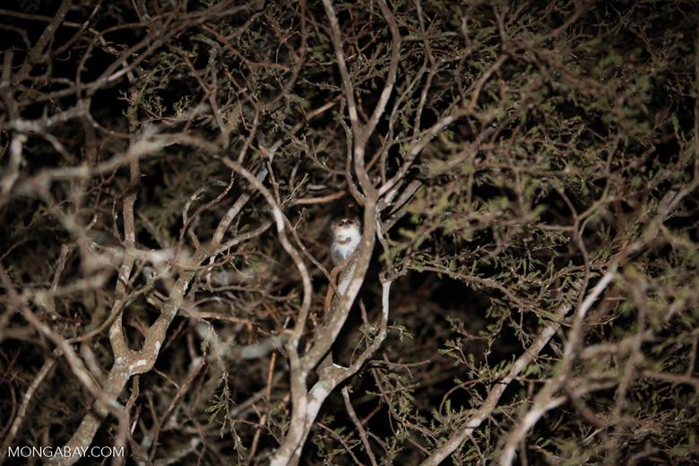 Gray Mouse Lemur (Microcebus murinus) [madagascar_2458]