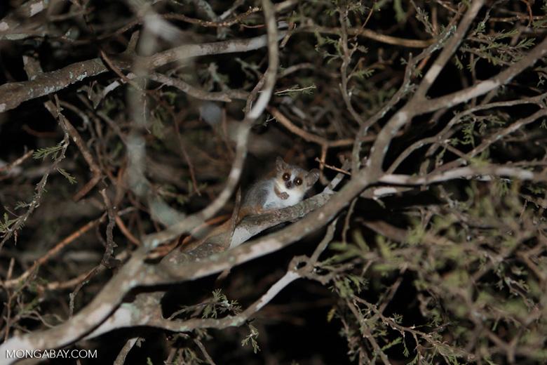 Gray Mouse Lemur (Microcebus murinus) [madagascar_2474]