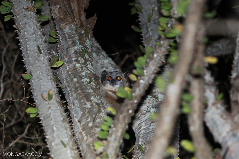 White-footed sportive lemur (Lepilemur leucopus), a species that lives in the Ankodida forest, in a spiny Madagascar ocotillo (Alluaudia procera). Photo by Rhett A. Butler.