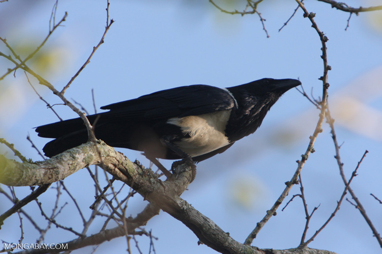 Madagascar Pied Crow (Corvus albus)