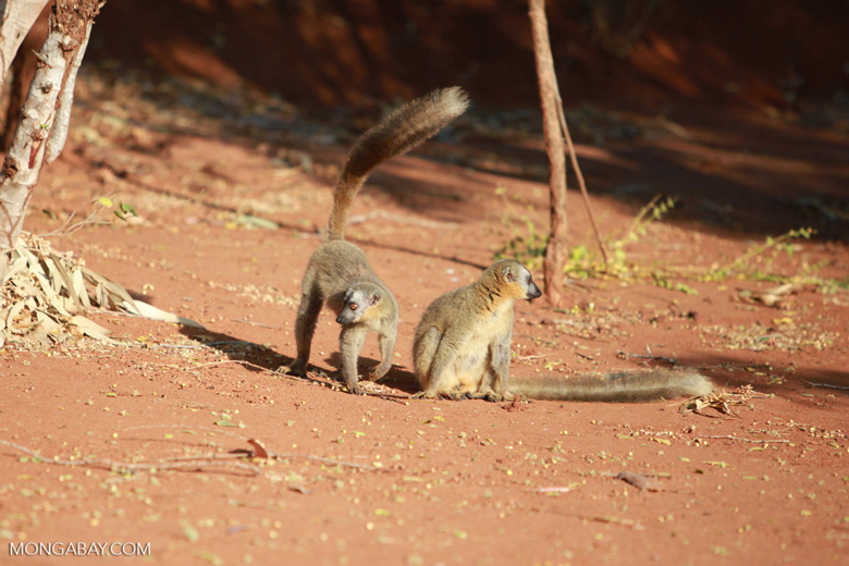 Red-fronted brown lemurs (Eulemur rufus)