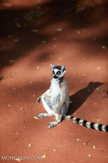 Ring-tailed lemur (Lemur catta) [madagascar_2529]
