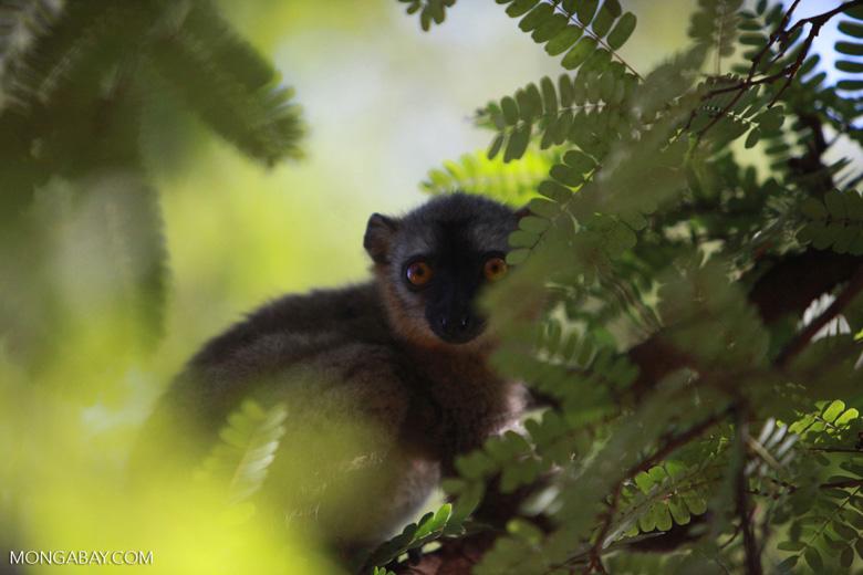 Red-fronted brown lemur (Eulemur rufus) [madagascar_2538]