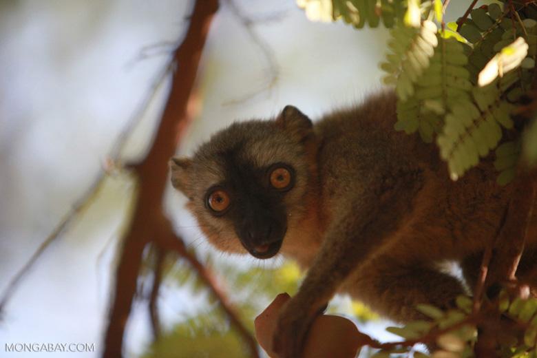 Red-fronted brown lemur feeding on tamarind [madagascar_2545]