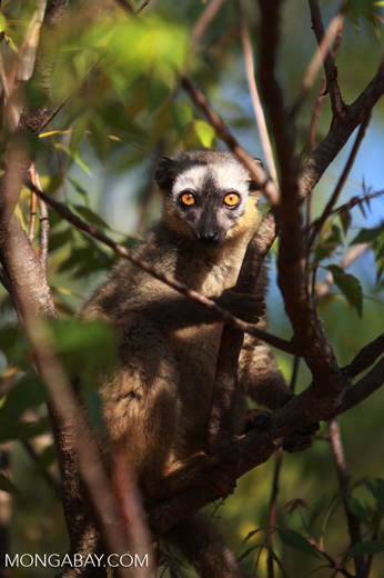 Red-fronted brown lemur (Eulemur rufus) [madagascar_2552]