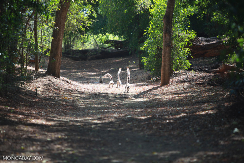 Ring-tailed lemurs in gallery forest [madagascar_2710]