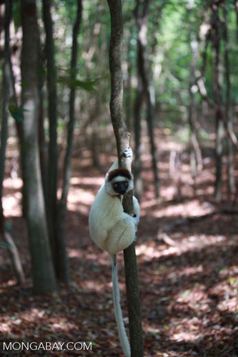 Verreaux's Sifaka (Propithecus verreauxi) in a forest