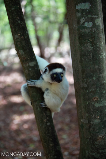 Verreaux's Sifaka (Propithecus verreauxi) on the lookout