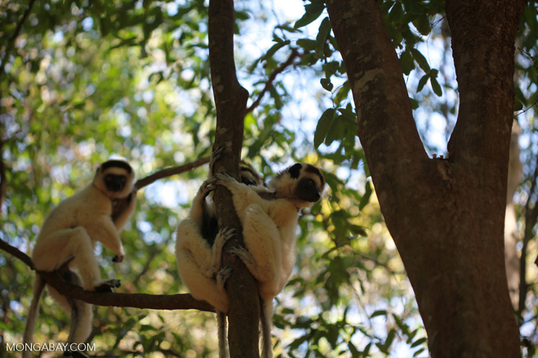 Sifakas sharing a tree trunk
