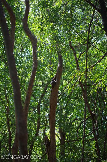 White-footed Lepilemur (Lepilemur leucopus) high in a tree hollow [madagascar_2809]