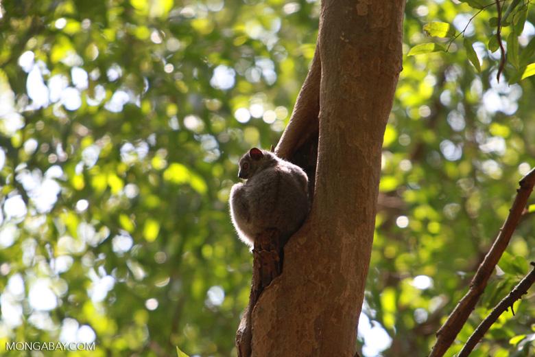 White-footed Lepilemur (Lepilemur leucopus) high in a tree hollow [madagascar_2813]