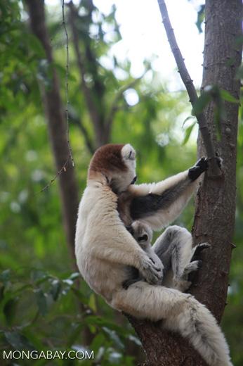 Baby Verreaux's Sifaka (Propithecus verreauxi) nursing with its mother [madagascar_2880]
