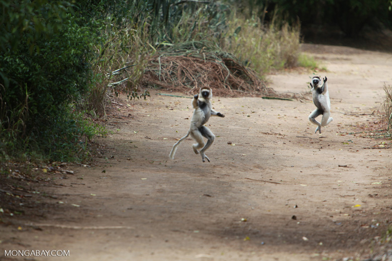 Verreaux's Sifaka (Propithecus verreauxi) in a territorial fight