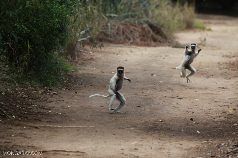 Verreaux's sifakas (Propithecus verreauxi) in a heated chase. Image by Rhett A. Butler.